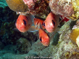 Blackbar Soldierfish checking out diver, or maybe just po... by J. Daniel Horovatin 